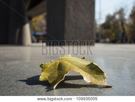Green Single Leaf On The Asphalt