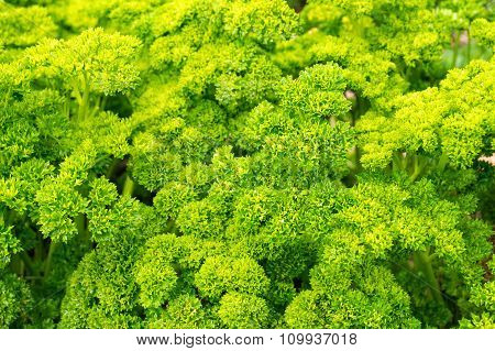 Fresh curly parsley in natural settings