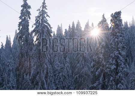 winter sunset at pine tree forest covered with fresh snow