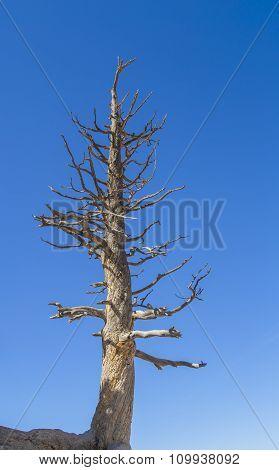 Bare Pine Tree