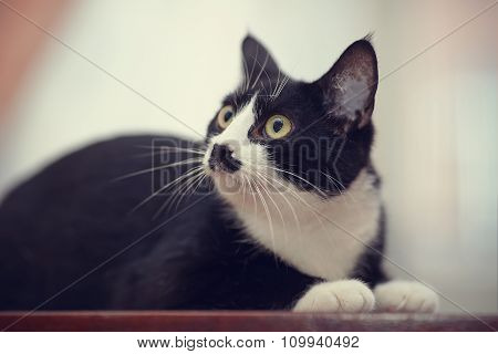Portrait Of A Black And White Domestic Cat