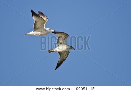Pair Of Ring-billed Gulls Flying In A Blue Sky