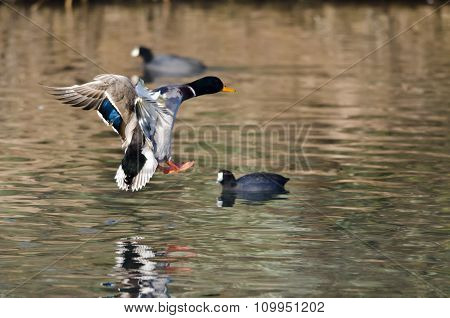 Mallard Duck Coming In For A Landing On The Water