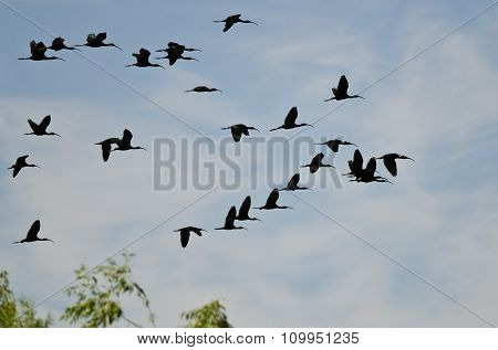 Flock Of White-faced Ibis Flying Low Over The Marsh