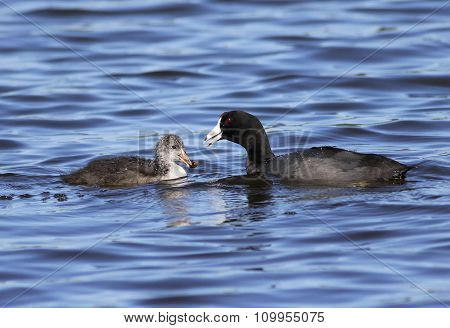 Mother American Coot and Chick
