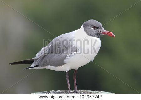 Laughing Gull By The Ocean