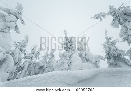 Winter forest. Fir trees in the snow. Beautiful snowdrifts. Christmas view