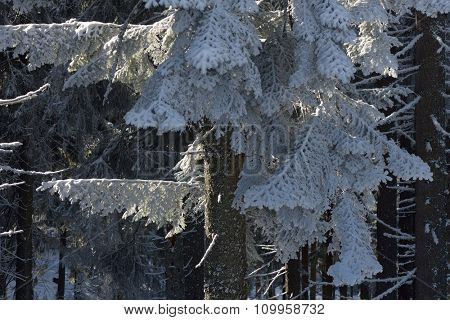 Branches of a Christmas tree in the snow. Winter in forest. Beauty in nature