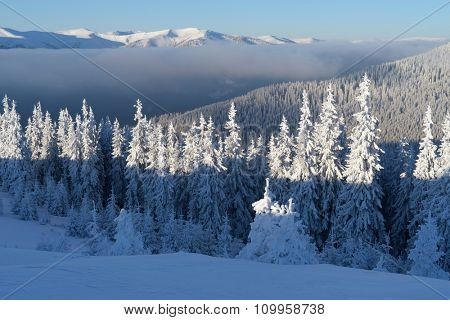 Winter landscape. Sunny day with blue sky. Fir forest in mountains. Carpathians, Ukraine, Europe
