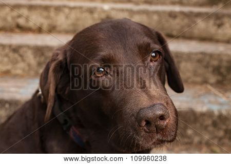 Sad Chocolate Labrador Retriever