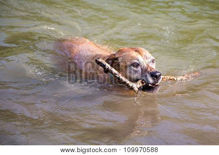 Old Dog Swims With Stick