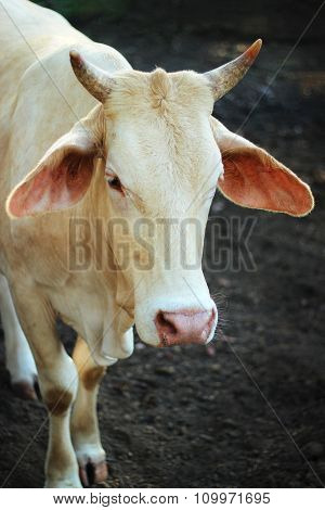 Cows Staring