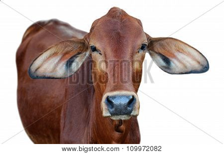 Image Of Red Cow Isolated On White Background.