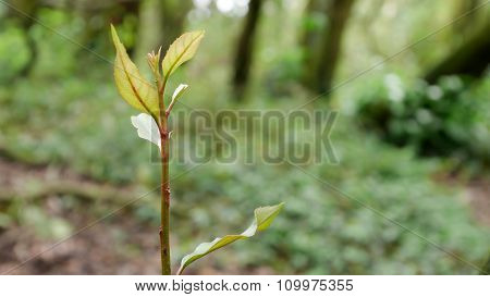 Put forth fresh leaves of tree