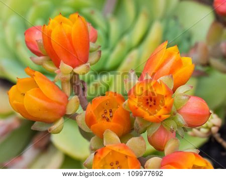 Succulent Close-up / Macro