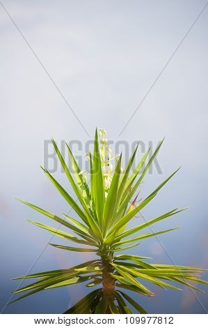 Very beautiful blooming Yucca flower. Space for text.