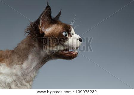 Closeup Devon Rex Hisses In Profile View On Gray