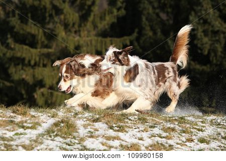 Two Amazing Australian Shepherds Playing