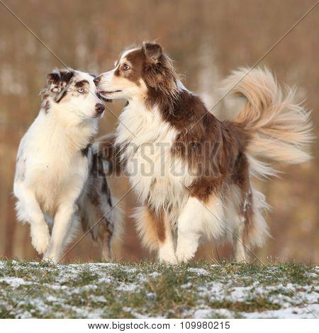 Two Amazing Australian Shepherds Playing