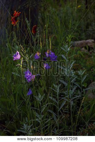 Lilla Garden Campanula Flowers