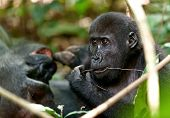 Постер, плакат: Portrait Of Eating Western Lowland Gorilla gorilla Gorilla Gorilla Close Up At A Short Distance A