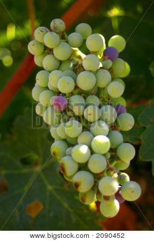Merlot Grapes 2