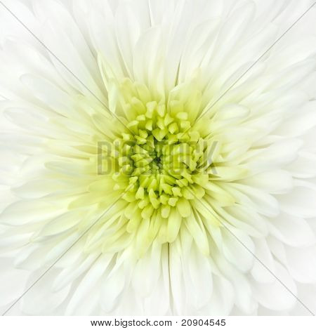 White Chrysanthemum Flower Head Closeup Detail