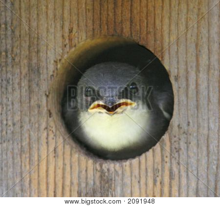Baby Tree Swallow