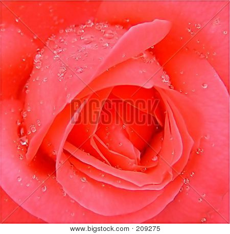 A Wet Rose
