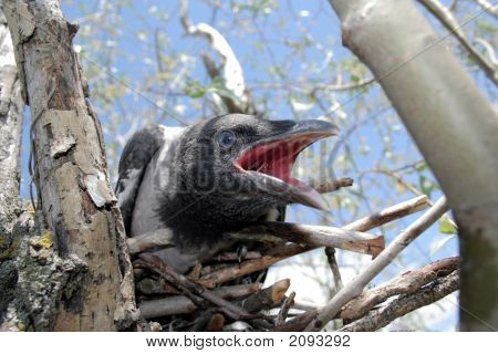 Young Crow In The Nest