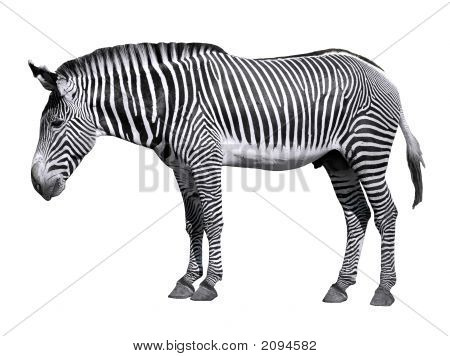 Isolated Zebra Of Grevy