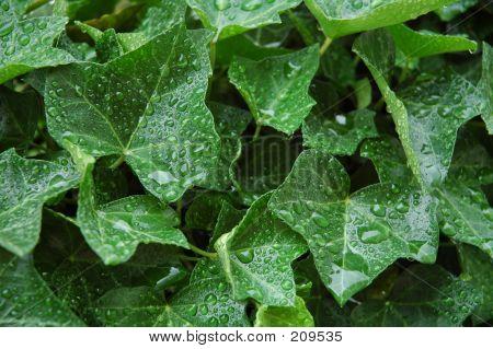 Ei Wet Ivy