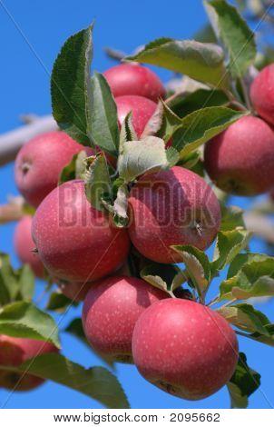 Apple Cluster 2