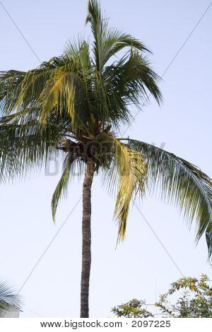 Coqueiro de Acapulco