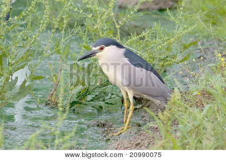 an adult of night heron / Nycticorax nycticorax