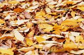 Autumn Foliage. Background With Autumn Colorful Leaves. Background Group Autumn Orange Leaves. Outdo poster
