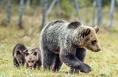 She-bear And Cubs Of Brown Bear (ursus Arctos Arctos) On The Swamp In The Summer Forest. Natural Gre poster