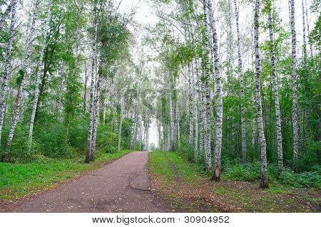 Path In Autumn Birch Grove