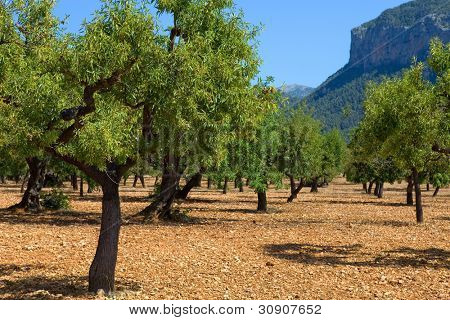 Olive trees from Majorca soil from mediterranean islands of Spain