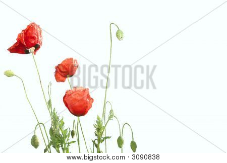 Red Poppies Isolated Over White