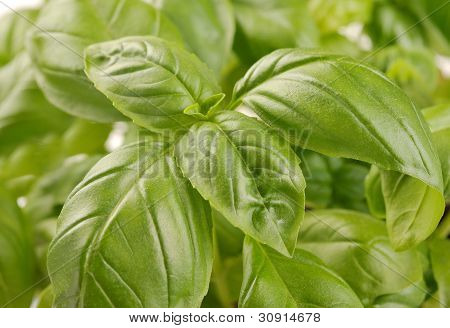 Embossed Green Basil Leaves
