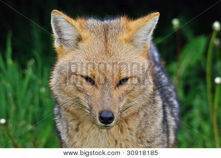 The culpeo (Lycalopex culpaeus)