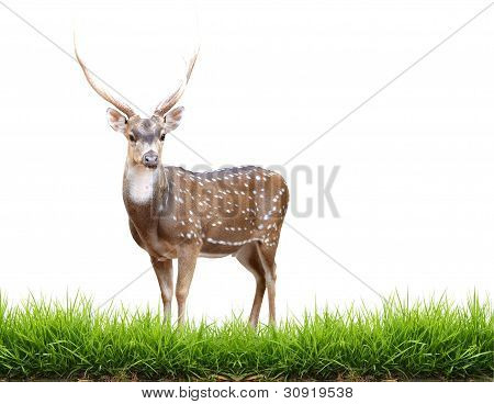 Maie Axis Deer With Green Grass