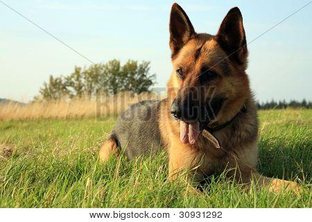 Dog - Alsatian