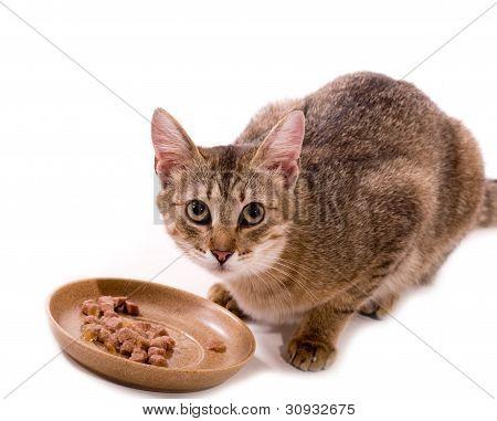 schöne Bengal-Katze isst Katze wie Mahlzeit auf dem weißen Hintergrund