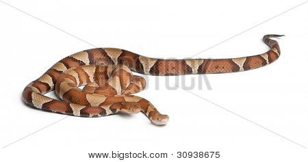 male and female Copperhead snake or highland moccasin - Agkistrodon contortrix, poisonous, white background