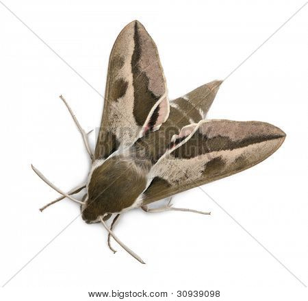 Spurge Hawk, Hyles Euphorbiae