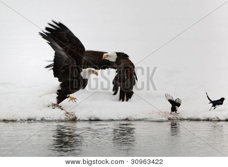 Two Flying Up Bald Eagles And Two Magpies.