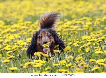 Take A Smell At Dandelion