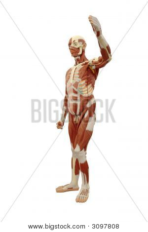 Male Muscle System